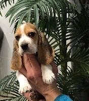 De l'aigle de meaux - Beagle - Portée née le 17/11/2019