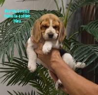 De l'aigle de meaux - Beagle - Portée née le 20/06/2018