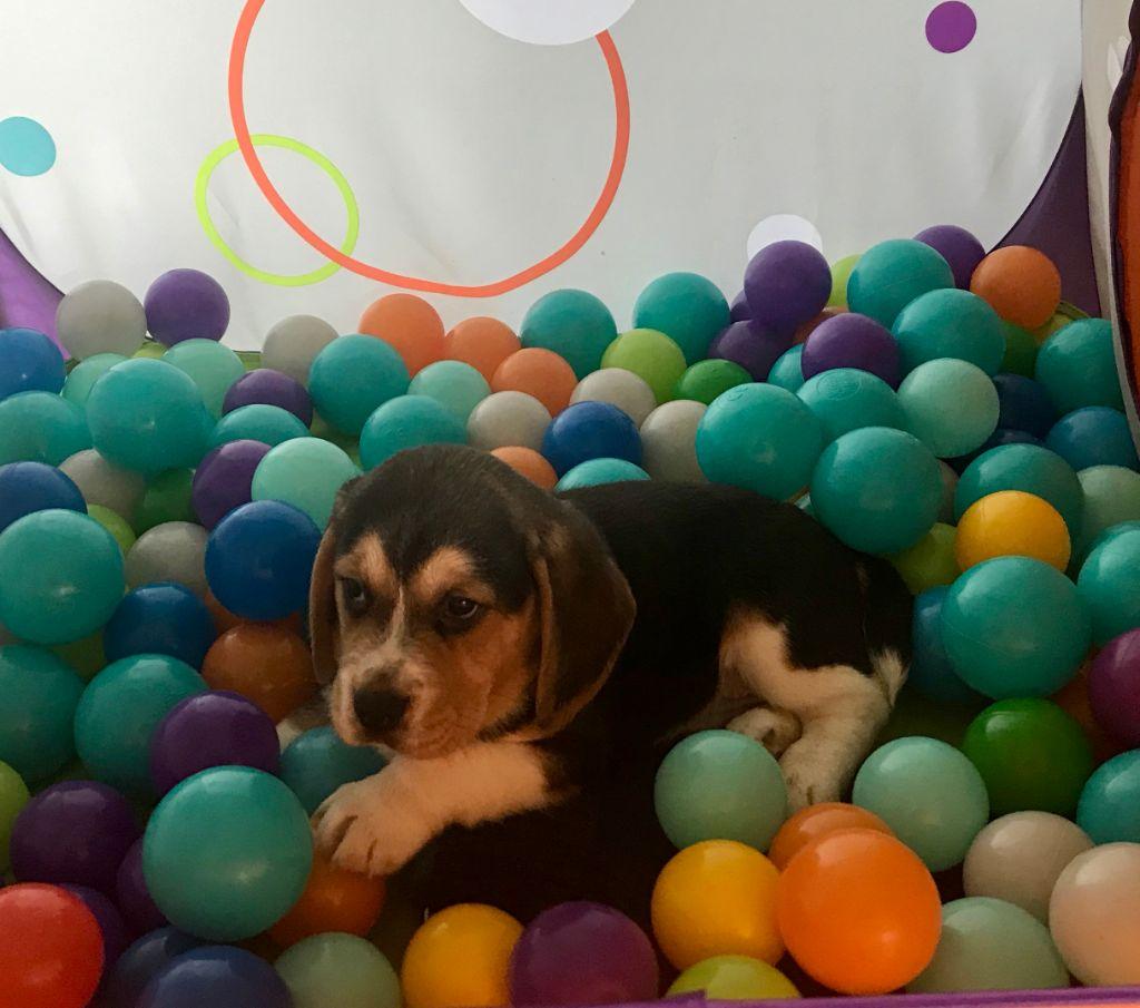 chiot Beagle De l'aigle de meaux