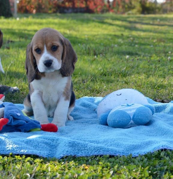 chiot beagle femelle 4 femelle disponible en bourgogne 21 cote d 39 or toutes les portees. Black Bedroom Furniture Sets. Home Design Ideas