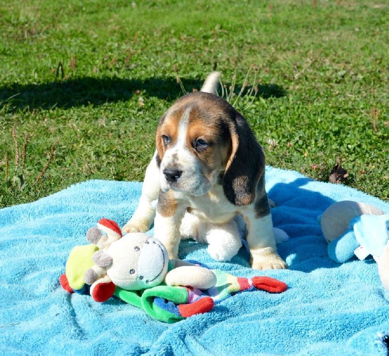 chiot beagle m le 2 m le disponible en bourgogne 21 cote d 39 or toutes les portees les. Black Bedroom Furniture Sets. Home Design Ideas