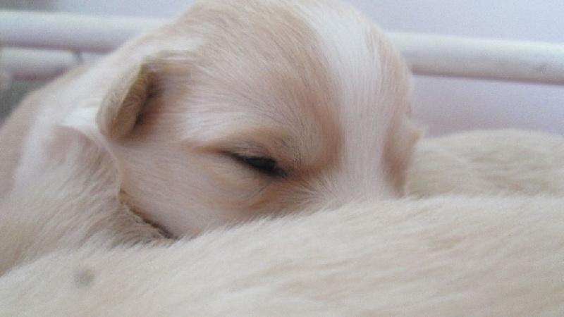 chiot chien finnois de laponie chiot miss myrza femelle disponible en auvergne rhone alpes. Black Bedroom Furniture Sets. Home Design Ideas