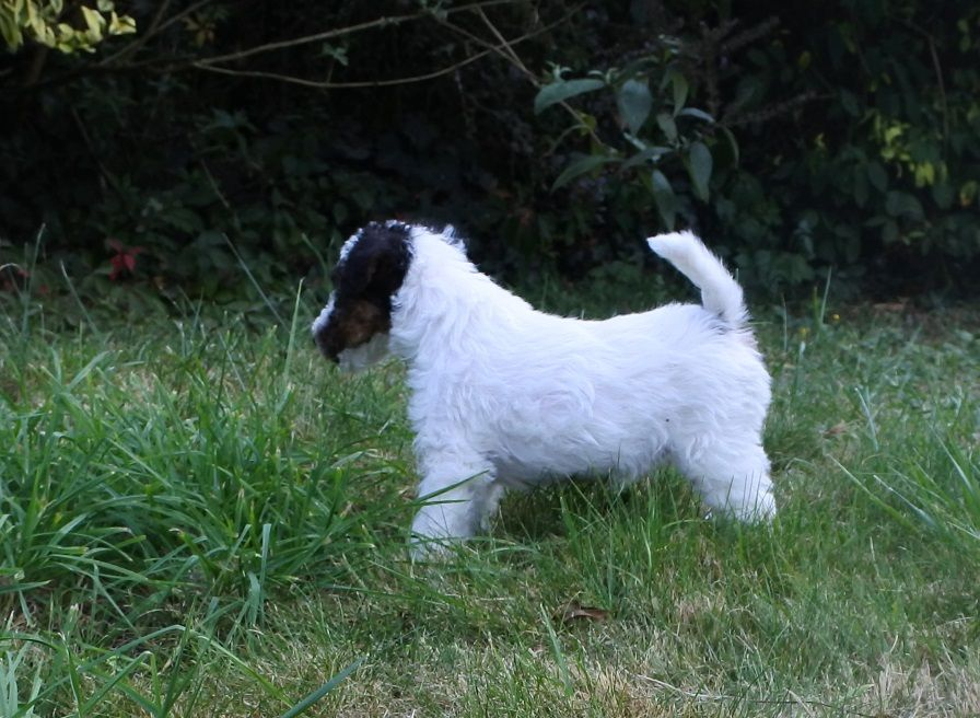 De la barriere rouge - Chiot disponible  - Fox Terrier Poil Dur