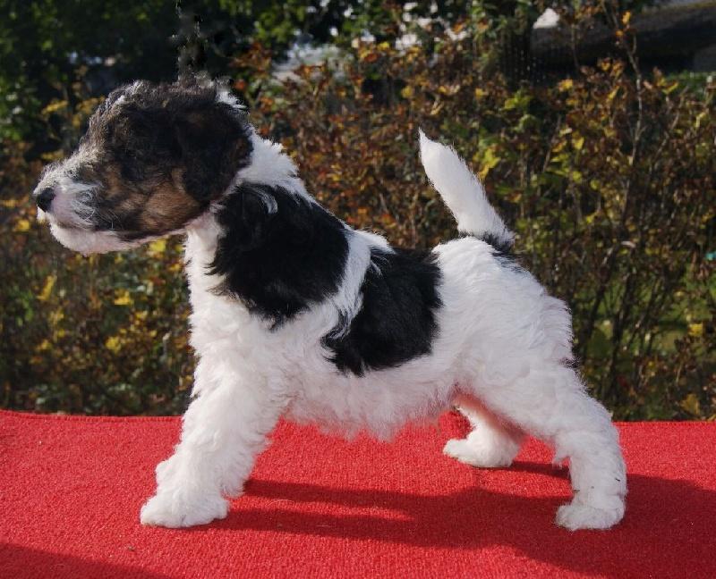 De la barriere rouge - Chiot disponible  - Fox Terrier Poil Dur