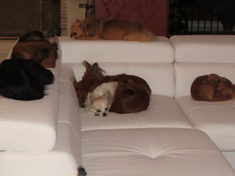 photo elevage du domaine de la sarronnaise eleveur de chiens russkiy toy petit chien russe. Black Bedroom Furniture Sets. Home Design Ideas
