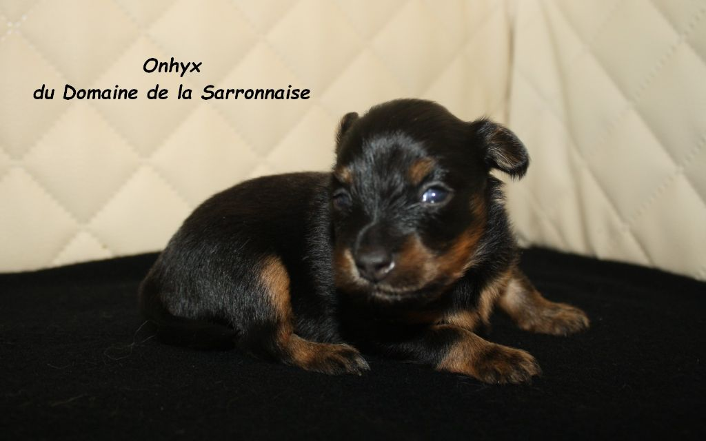 Du Domaine De La Sarronnaise - Chiot disponible  - Russkiy Toy (Petit Chien Russe)