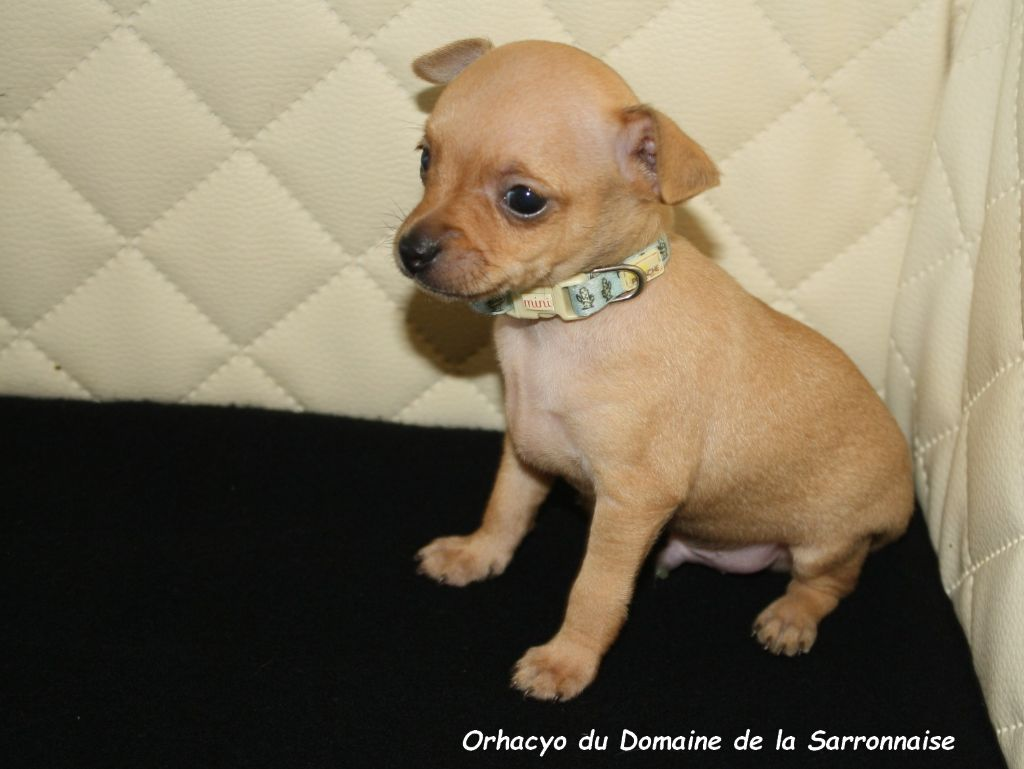 Orhacyo - Russkiy Toy (Petit Chien Russe)