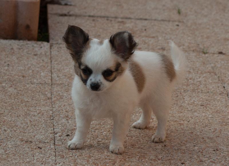 El Tabarcas - Chiot disponible  - Chihuahua