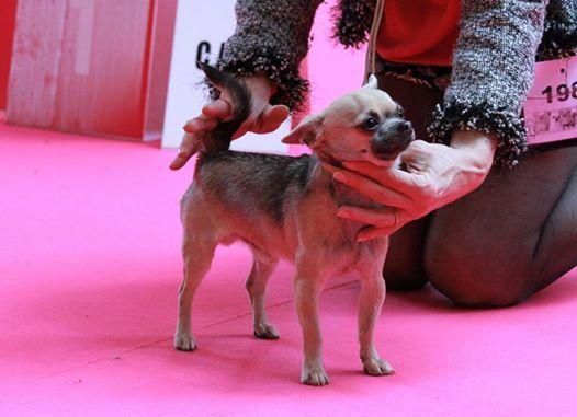 des Amys de Appy - Chiot disponible  - Chihuahua