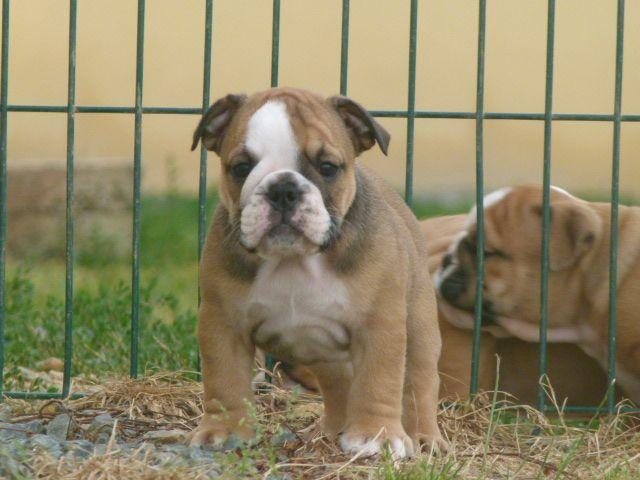 Land van mechelaar - Chiot disponible  - Bulldog Anglais