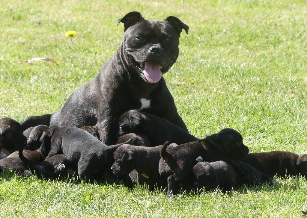 chiot Staffordshire Bull Terrier Land van mechelaar