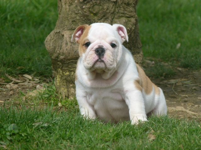 Land van mechelaar - Chiot disponible  - Bulldog Anglais