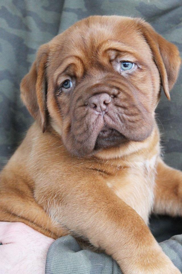Red Dog Demars - Chiot disponible  - Dogue de Bordeaux