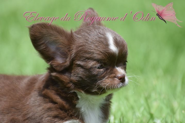 mâle chocolat et blanc - Chihuahua