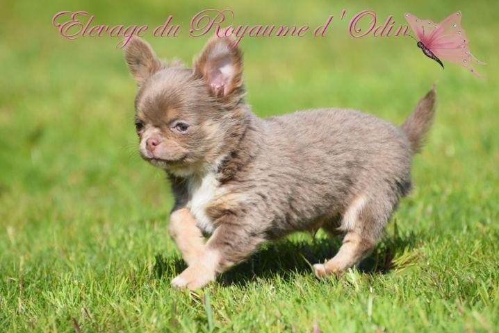 Du Royaume D'odin - Chihuahua - Portée née le 22/01/2020