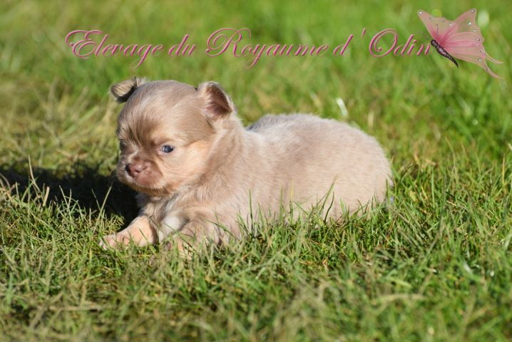 Du Royaume D'odin - Chiot disponible  - Chihuahua