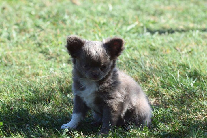 femelle lilas 2 - Chihuahua