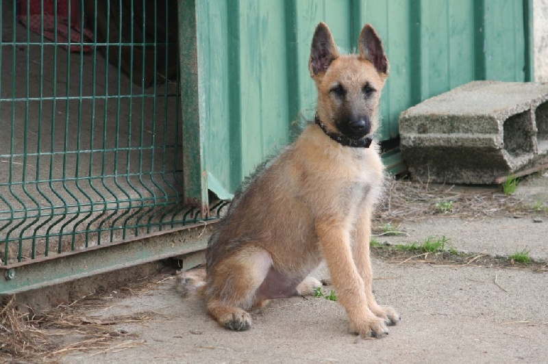 de la Tangi Morgane - Chiot disponible  - Berger Belge