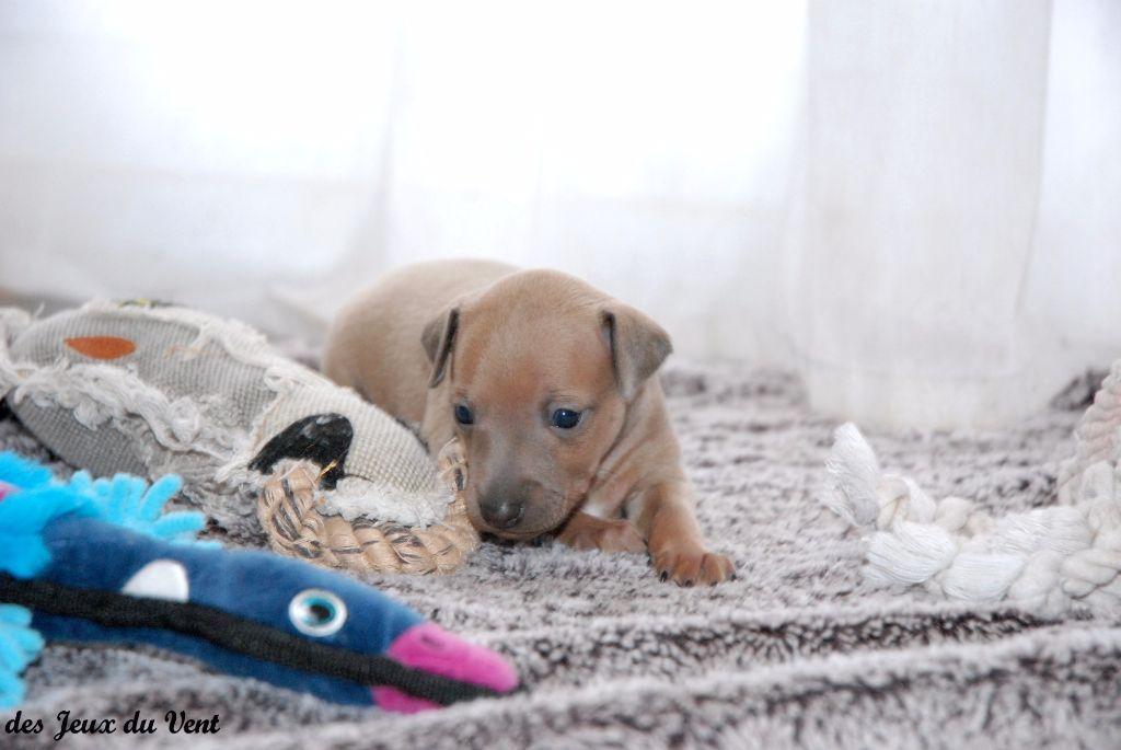 Chiot - Elevage des Jeux Du Vent - éleveur de chiens Petit