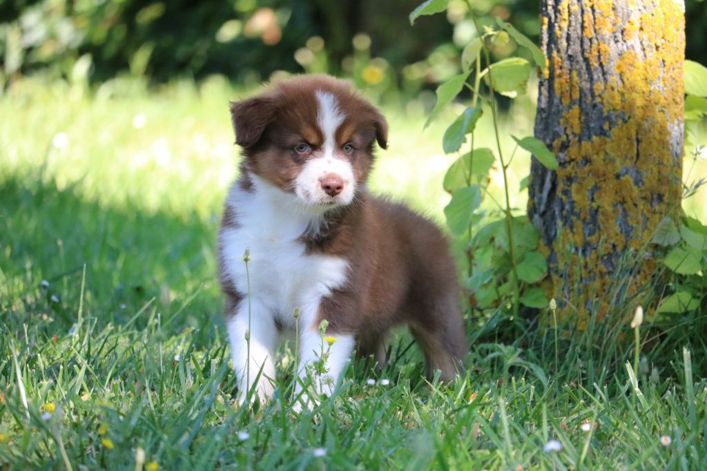 du Duncallipsy - Chiot disponible  - Berger Australien