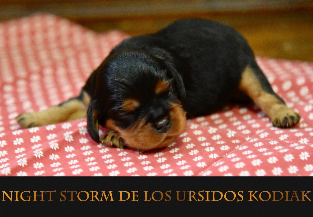 De Los Ursidos Kodiak - Chiot disponible  - Cavalier King Charles Spaniel