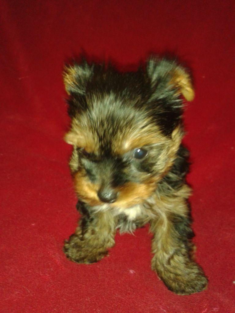 oliver - Yorkshire Terrier