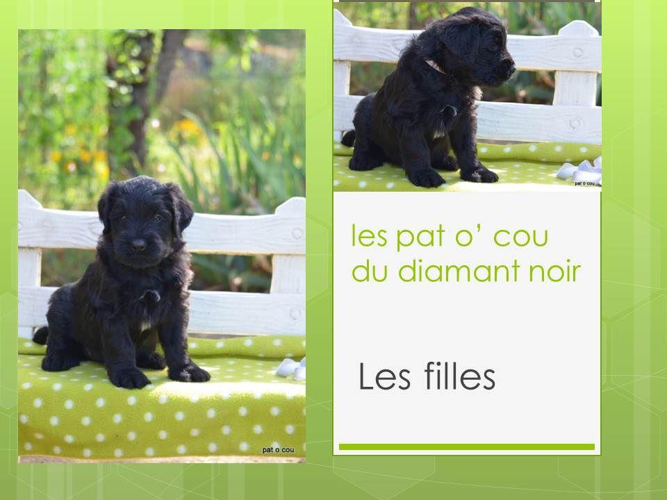 Les Pat O' Cou Du Diamant Noir - Chiot disponible  - Berger de Brie