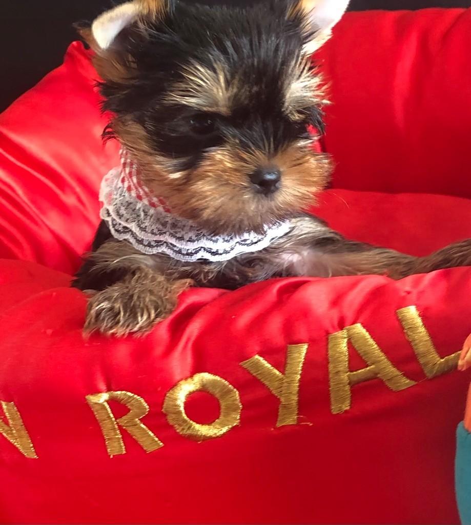 de l'Eden Royal - Chiot disponible  - Yorkshire Terrier