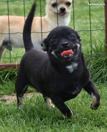 De L'isle Au Vert Coteau - Chiot disponible  - Chihuahua