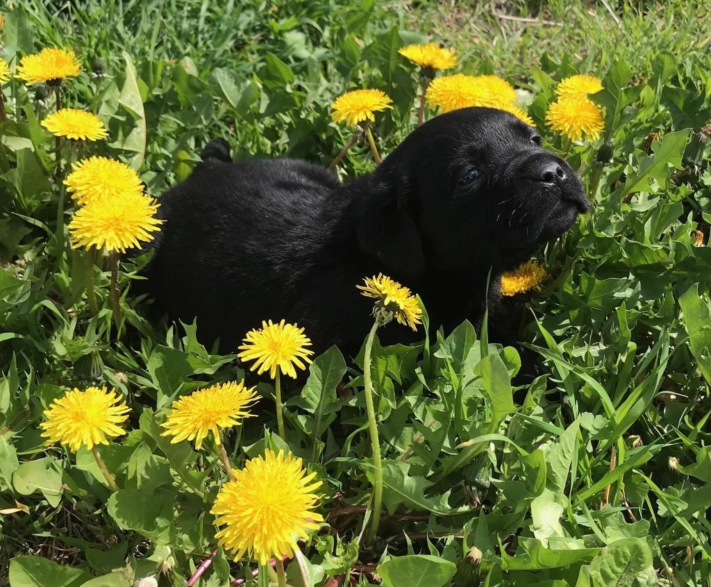 CHIOT noir - Labrador Retriever