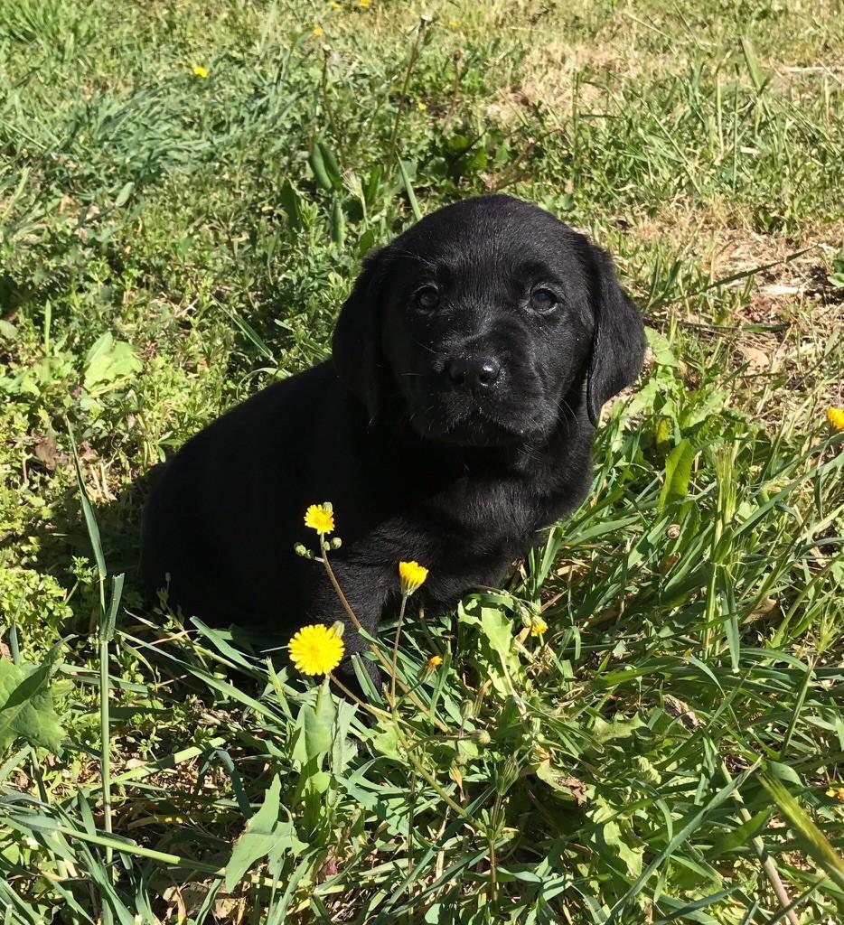 Chiot Labrador Retriever, CHIOT noir, femelle disponible