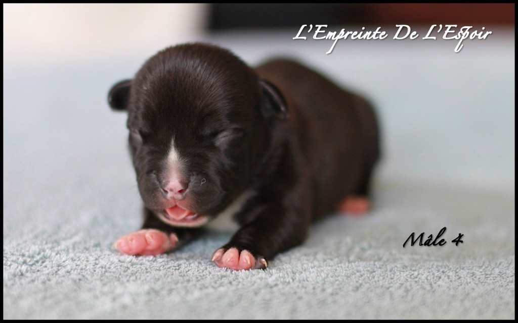 De L'empreinte De L'espoir - Chiot disponible  - American Staffordshire Terrier