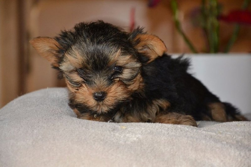 Mister - Yorkshire Terrier