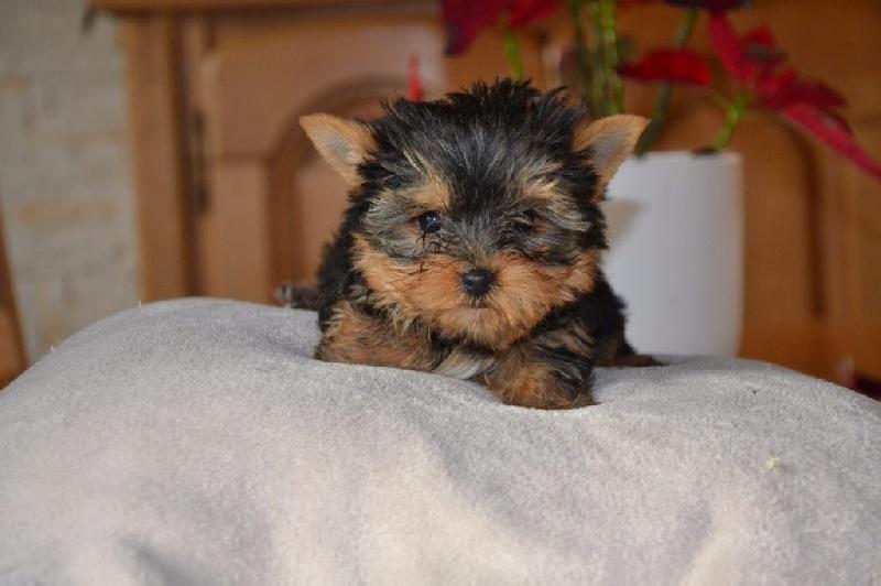 Des Sources De La Liane - Chiot disponible  - Yorkshire Terrier