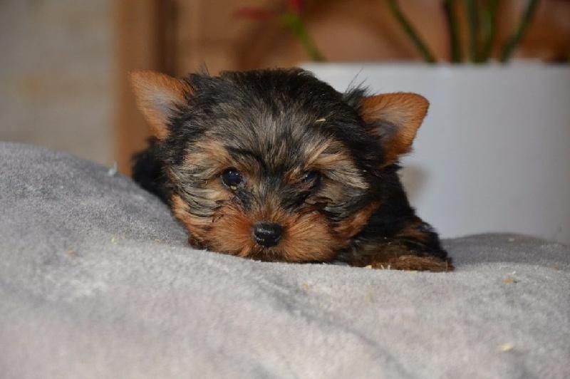Mouss - Yorkshire Terrier