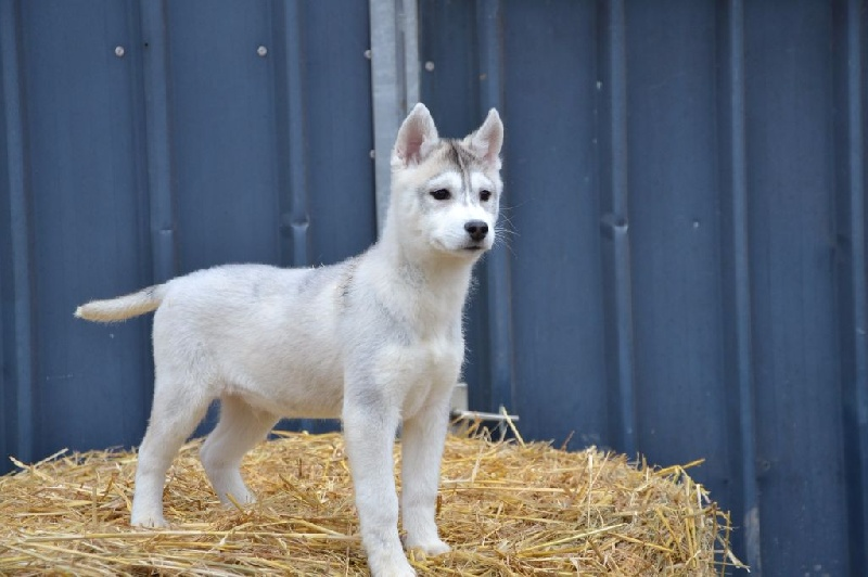 Des Sources De La Liane - Chiot disponible  - Siberian Husky