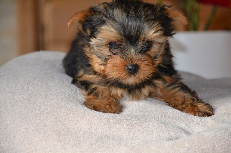 Mojito - Yorkshire Terrier