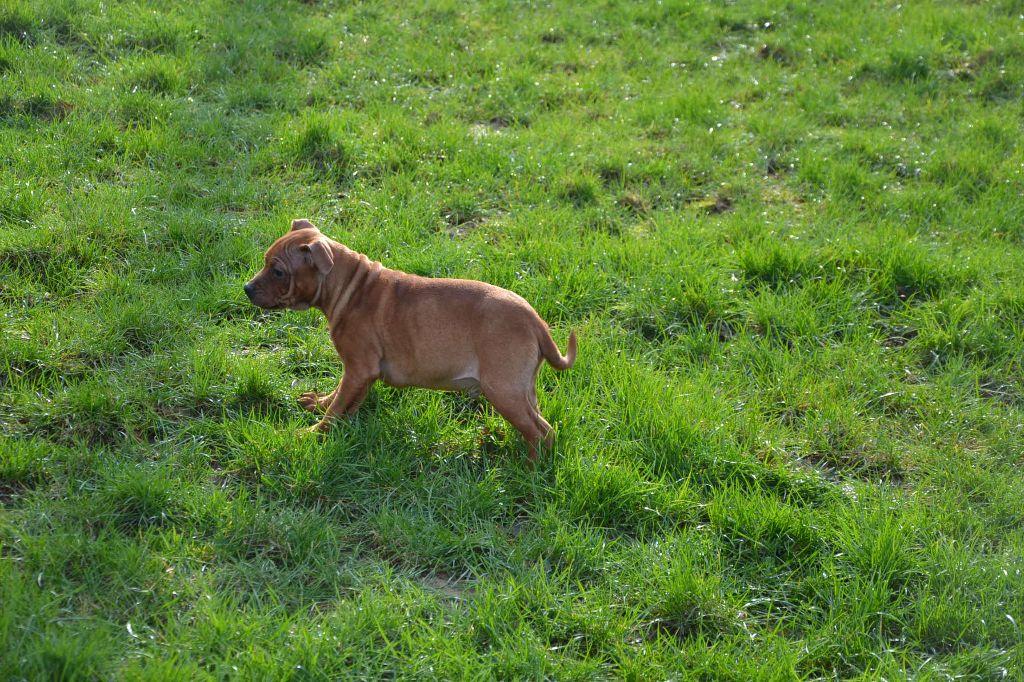 Nelson - Staffordshire Bull Terrier