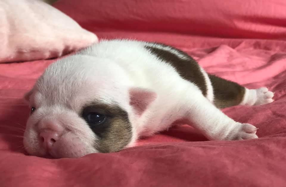 Sexy Bully - Chiot disponible  - Bulldog Anglais