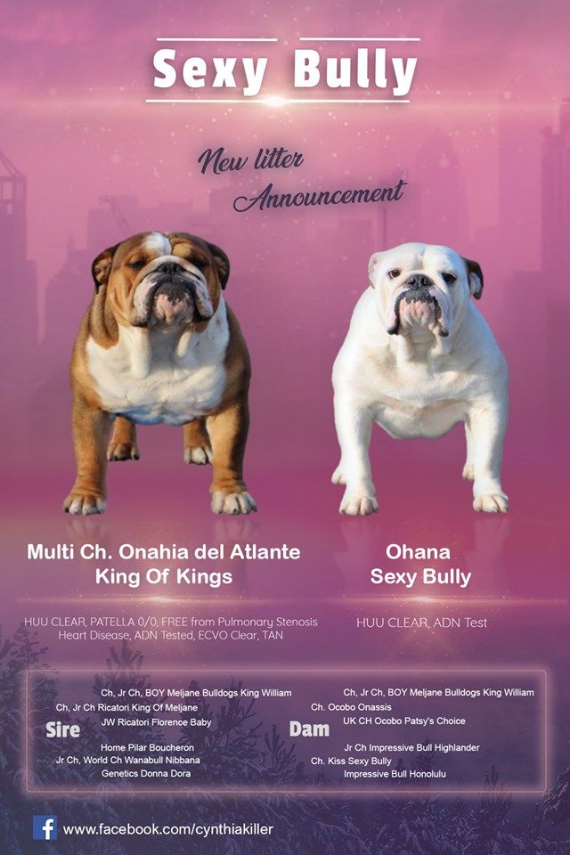 chiot Bulldog Anglais Sexy Bully