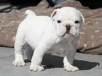 Sexy Bully - Bulldog Anglais - Portée née le 07/03/2013