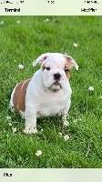 Sexy Bully - Bulldog Anglais - Portée née le 11/03/2020