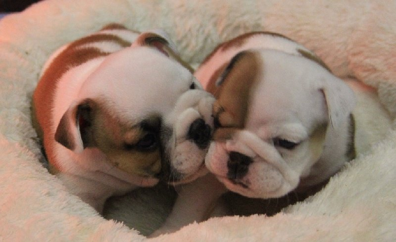 Sexy Bully - Bulldog Anglais - Portée née le 16/12/2014