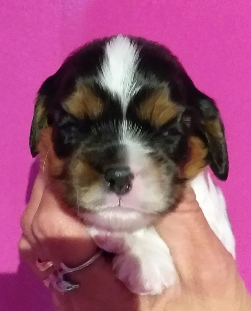 CHIOT - Cavalier King Charles Spaniel