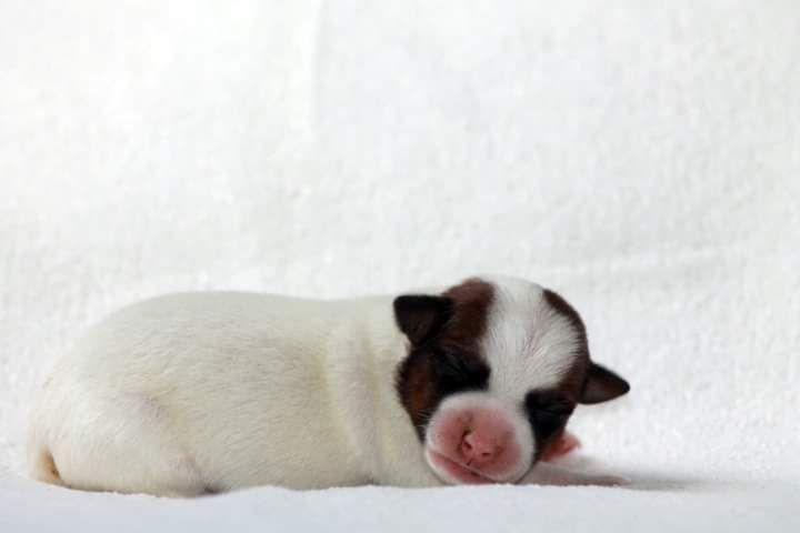 De La Rosée De L'eden - Chiot disponible  - Jack Russell Terrier