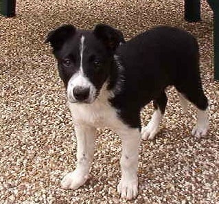 Chiot Elevage In The Name Of Love Eleveur De Chiens Border Collie