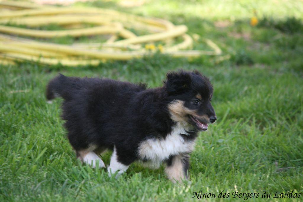 Chiot Shetland Sheepdog, NINON, femelle disponible en