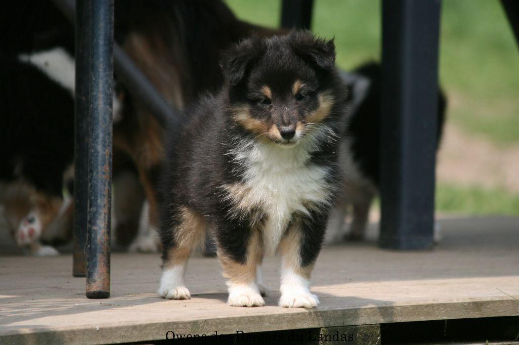Chiot Shetland Sheepdog, OWENS , mâle disponible en