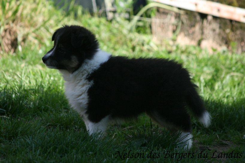 Des Bergers Du Landas - Chiot disponible  - Shetland Sheepdog