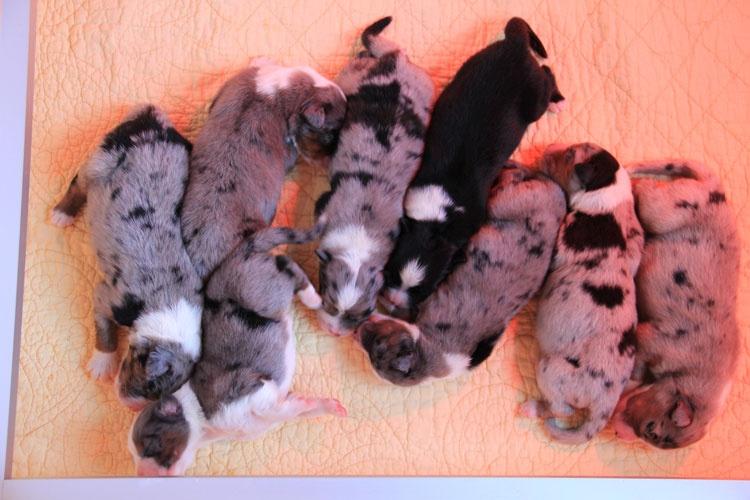 Du Mas De Sainte Esteve - Berger Australien - Portée née le 06/07/2011